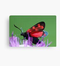 Burnet moth Canvas Print