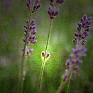 I Love Lavender by ROSE DEWHURST