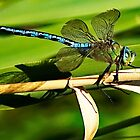 Emperor Dragonfly by Mark Haynes Photography