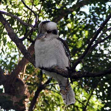 Australian Kookaburra  by artbyjanelucas