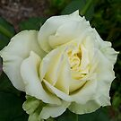 Cream Rose by Erica Long