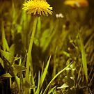 Dandelion by Anita Harris