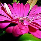 *A Little Bit Ruffled Gerbera from Bouquet* by EdsMum