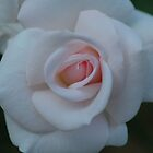 Shell Pink Rose by Nerone