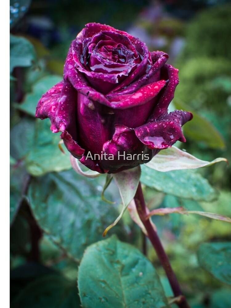 Rose by plasticflower