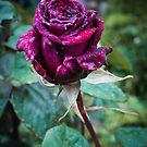 Rose by Anita Harris