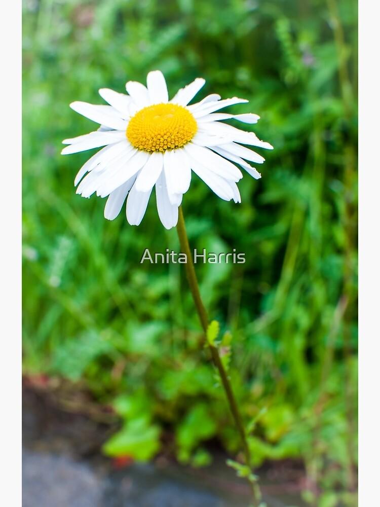 Daisy by plasticflower