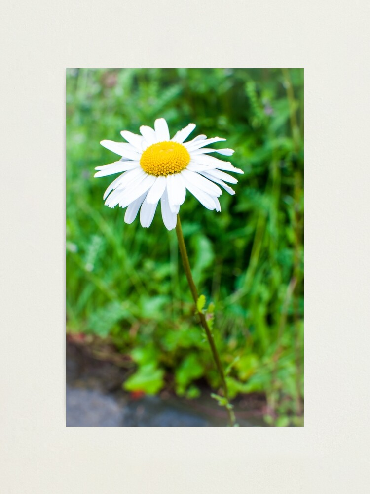 Alternate view of Daisy Photographic Print