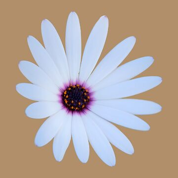 White Daisy with Purple Center by STHogan