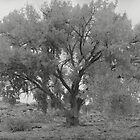 Glorious Cottonwood Tree by Barbara Wyeth