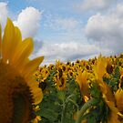 Sunflower Garden by Michelle Callahan