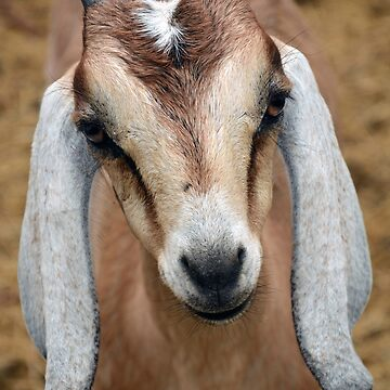 Young Goat by venny
