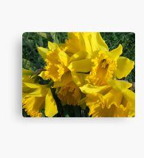 Winter's Daffodils Canvas Print