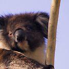 Koala in the park by georgieboy98