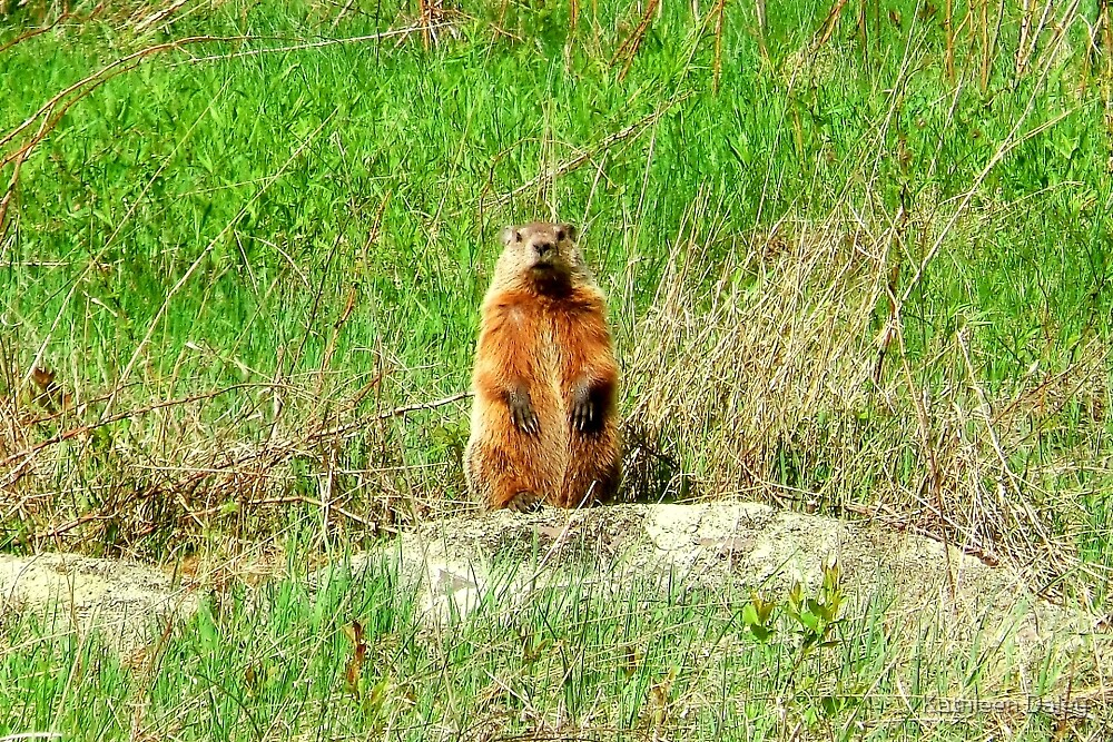 Groundhog by Kathleen Daley