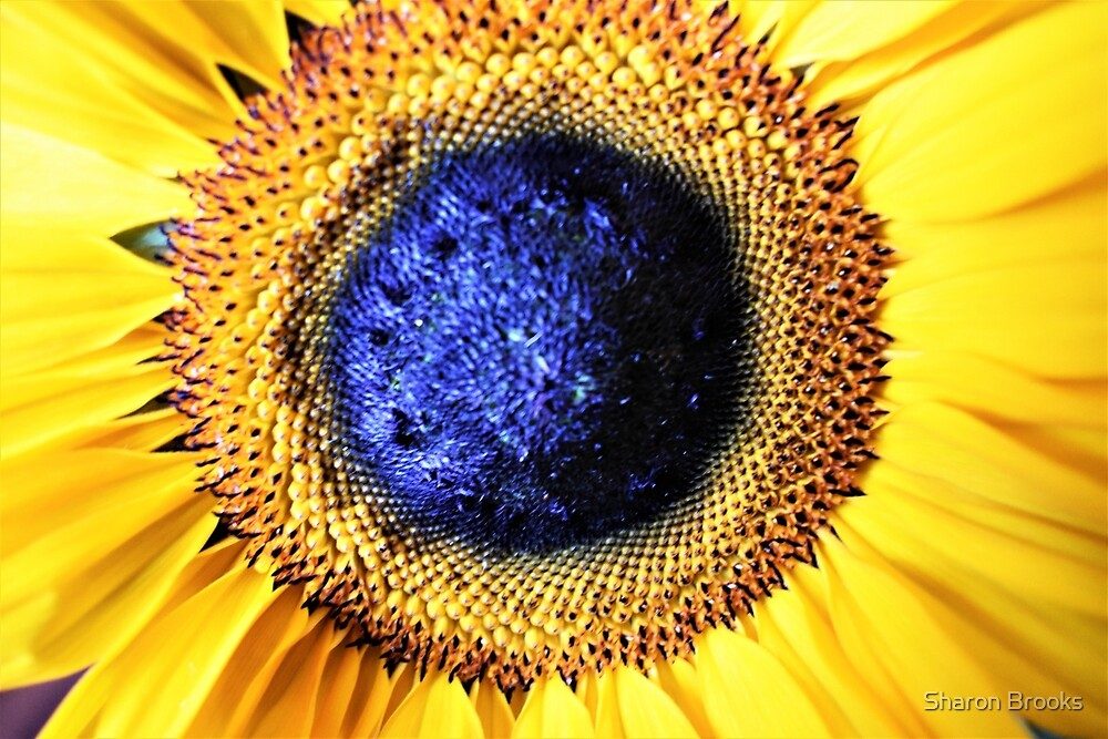 Sunflower by Sharon Brooks
