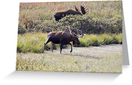 Two Bull Moose  - 11861 by BartElder