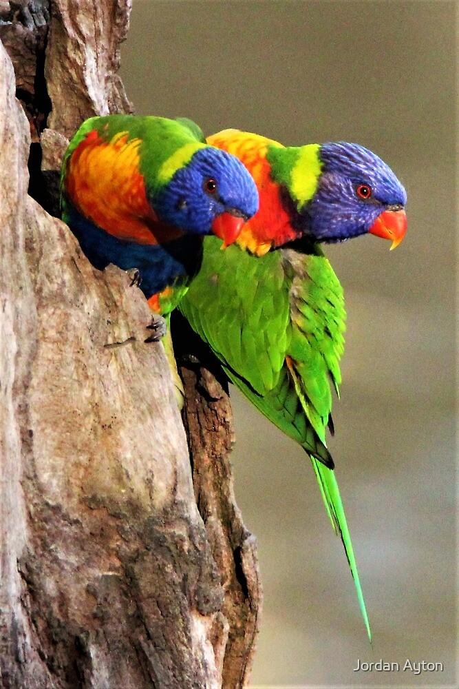 Rainbow Lorikeets by Jordan Ayton