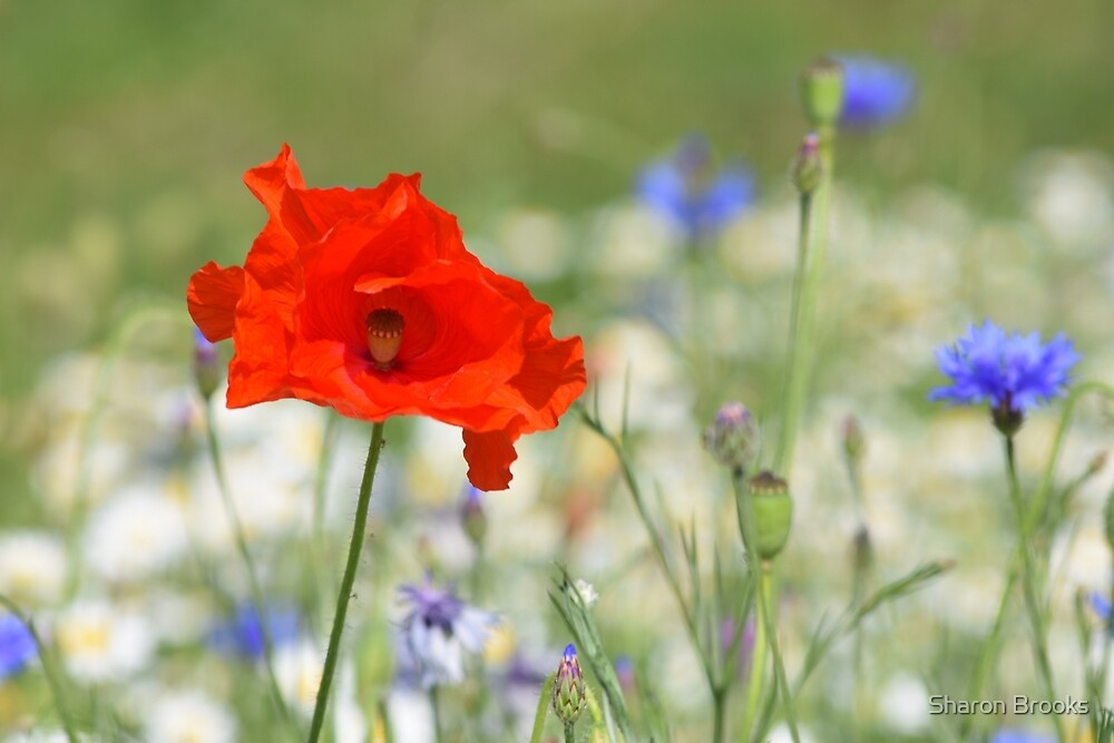 The Poppy by Sharon Brooks