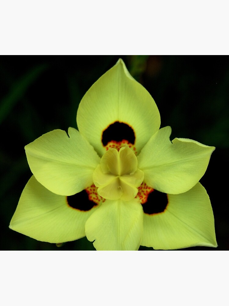 Yellow Dietes Flower from A Gardener's Notebook by douglasewelch