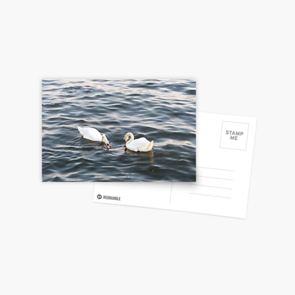 Schwäne Postkarte