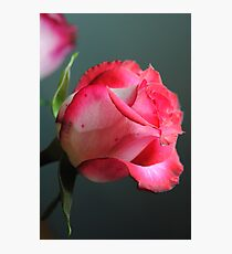 Red and White Rose in Spotlight Photographic Print