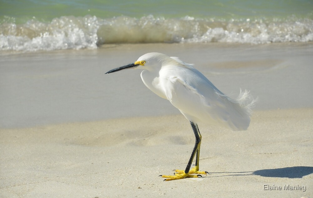 Snowy Egret on Beach by Elaine Manley