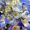 BLUE & VIOLET ♦ FLOWER SERIES