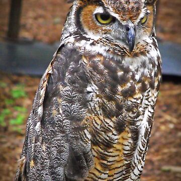 Great Horned Owl by solareclips