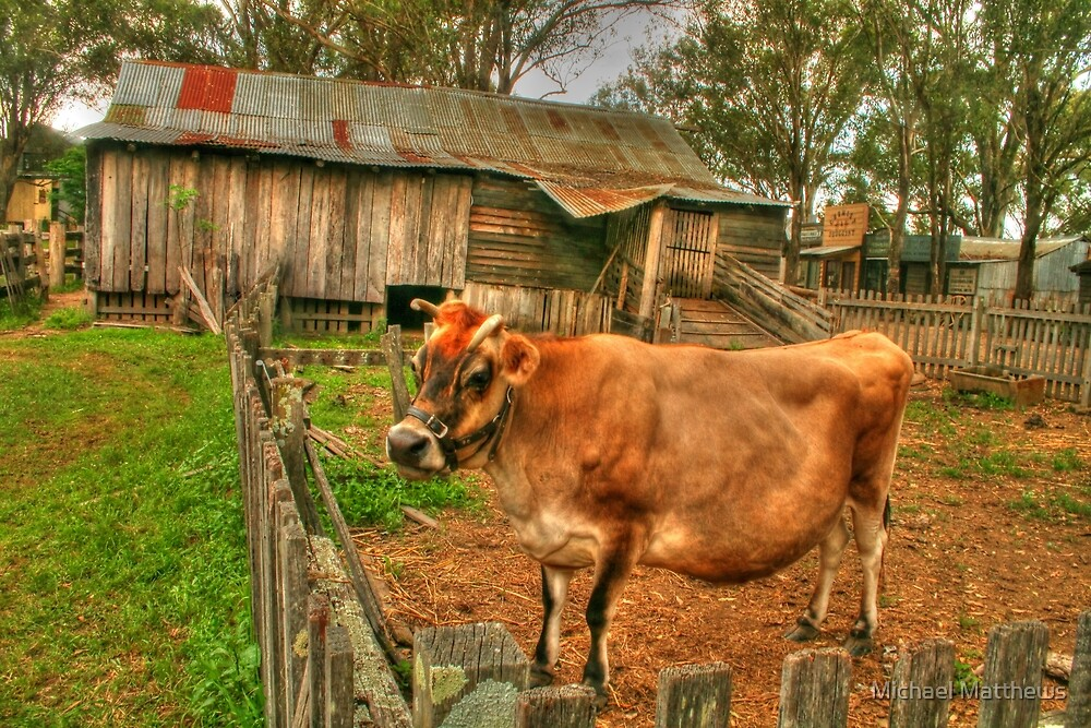 A cow of a shot ! by Michael Matthews
