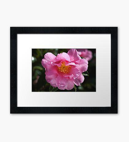 Pink Camellia Brightens Winter  Framed Print