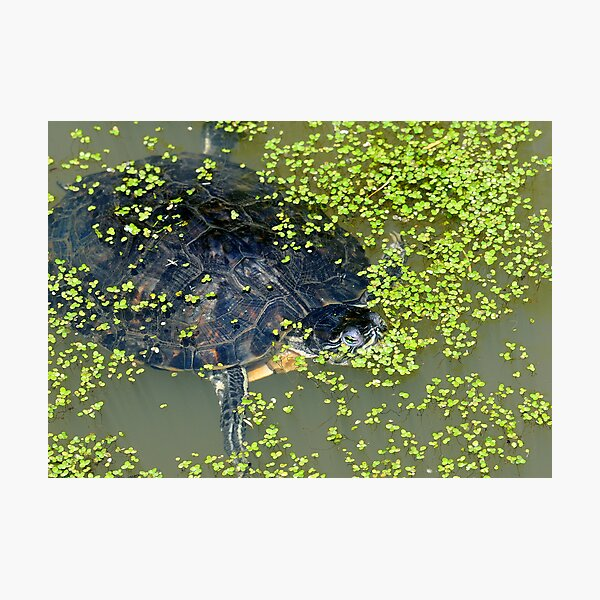 Turtle Photographic Print