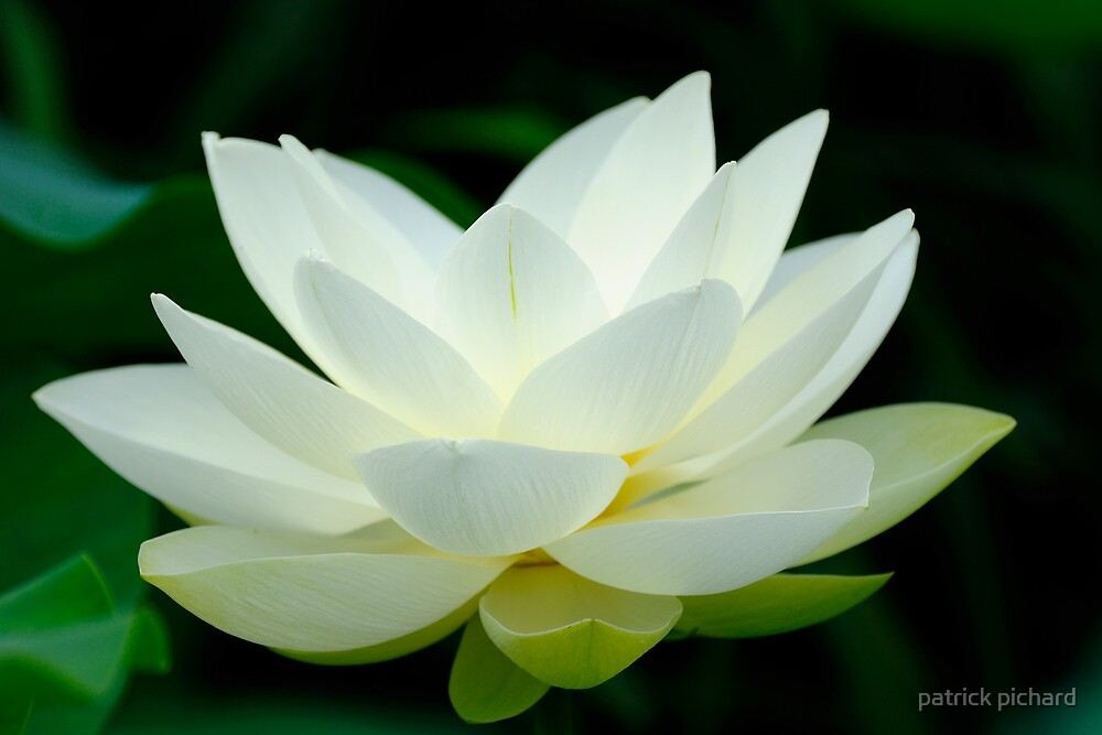 lotus flower by patrick pichard