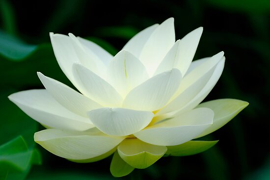 Lotus Flower Posters By Patrick Pichard Redbubble