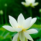 white lotus flower by patrick pichard