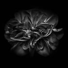 Backyard Flowers In Black And White 67 by Brian Carson
