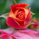 Sweet Rose Bud by Kasia-D