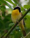 Common Yellowthroat by Dennis Cheeseman