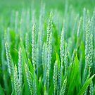 Green Wheat Field in Summer by YLArt