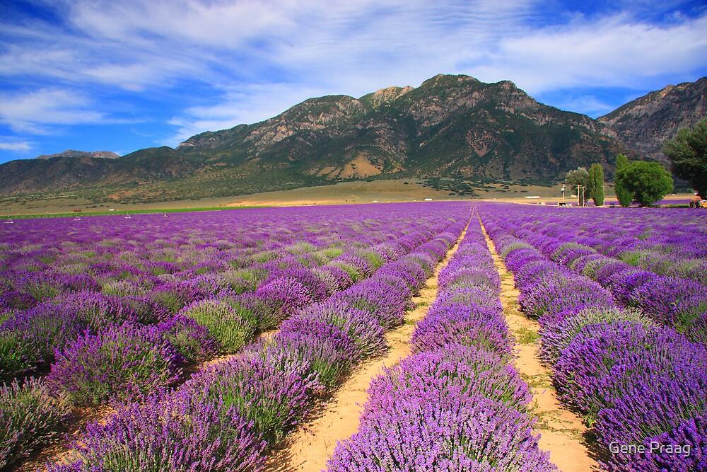 Quot Lavender Fields Quot By Gene Praag Redbubble