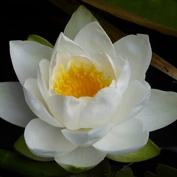 WHITE WATER LILY by elainebawden