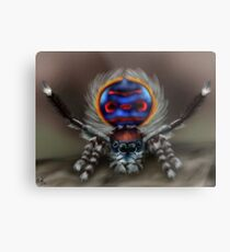 Peacock Spider Metal Print