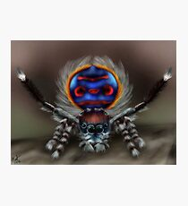 Peacock Spider Photographic Print