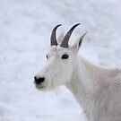 Mountain Goat - Glacier Park by Kimberly Palmer