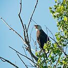 Bald Eagle by wolftinz