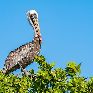 Brown Pelican perched on a tree  by debbieannpowell