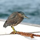 Striated heron 002 by kevin Chippindall