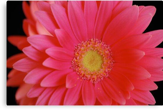 Pink Gerbera Daisy by Suz Garten