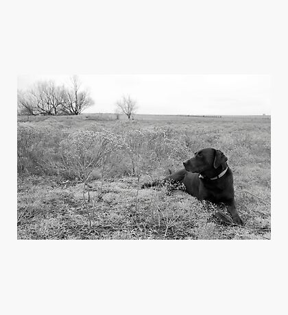 Labrador in Field Photographic Print