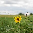 Lone Sunflower in Pasture by Suz Garten